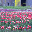 Постер, плакат: Tulip Farm Skagit Valley Flower Production Field Harvest Ready