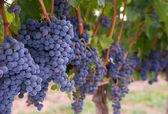Grönskande mat frukt druva kluster jordbruks vine gård fältet — Stockfoto