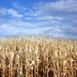Corn Sky - Stock Photo
