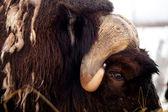 Alaskan Musk Ox Northern Animal Wildlife — Stock Photo