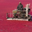 Постер, плакат: Fruit Harvest Cranberry Bog Harvested Food Harvest