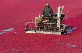 Fruit Harvest Cranberry Bog Harvested Food Harvest — Stock Photo