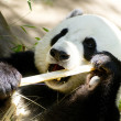 Panda Eats Regular Diet of Bamboo Shoots - Stock Photo