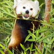 Red Panda Eats Regular Diet of Bamboo Shoots and Tree Branches — Stock Photo