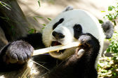 Panda Eats Regular Diet of Bamboo Shoots — Stock Photo