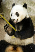 Giant Panda Eats Regular Diet of Bamboo Shoots Animal Background — Stock Photo