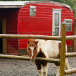 A Miniture Pony Stands in His Coral with Red Trailer - Stock Photo