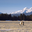 Ranch Animals at the Base of Three Sisters Mountains Oregon — Stock Photo #23520729