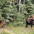 Giant Alaskan Moose Female Leads Calf From Forest Wildflowers — Stock Photo #25954773