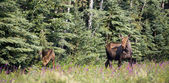 Giant Alaskan Moose Female Leads Calf From Forest Wildflowers — Stock Photo
