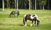 Horses Grazing inThe Pasture Long Haired Paint — Stock Photo
