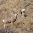 Mule Deer Buck Leading His Female Family Winter Grassland Wildlife — Stock Photo