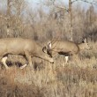 Mule Deer Buck Leading His Female Family Winter Grassland Wildlife — Stok fotoğraf