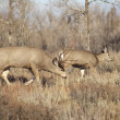 Постер, плакат: Mule Deer Buck Leading His Female Family Winter Grassland Wildlife