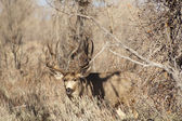 Mule Deer Buck Looks Protecting Family Winter Grassland Wildlife — Stock Photo