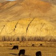 Cattle Grazing Ranch Livestock Farm Animals Western Mountain Landscape — Stock Photo