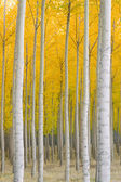 Autumn Stand of Trees Blazing Yellow Autumn Fall Color — Stock Photo