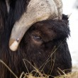 Alaska Animal Musk OX feeds on hay straw vertical composition — Stock Photo