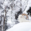 Stock Photo: AlaskNative Animal Wildlife Dall Sheep Resting Laying Fresh Snow Mountain Landscape
