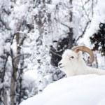 Alaska Native Animal Wildlife Dall Sheep Resting Laying Fresh Snow Mountain Landscape — Stock Photo