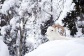 新鮮な雪の山の風景を敷設安静時アラスカ野生動物 dall ヒツジ — ストック写真