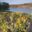 Wildflowers Around Banks Lake Steamboat Rock State Park — Stock Photo