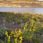 Wildflowers Around Banks Lake Steamboat Rock State Park — Stock Photo #31906607