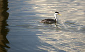 Clark's Grebe Bird Wildlife Water Fowl Outdoor Klamath Lake Oregon — Stock Photo