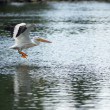 Pelican Bird Amimal Wildlife Flies into Landing Lake Klamath Southern Oregon USA — Stock Photo