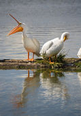 Pelican Pair Birds Water Fowl Wildlife Standing Lake Klamath Oregon — Stockfoto