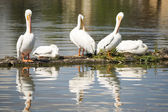 Pelican Group Birds Water Fowl Wildlife Standing Lake Klamath Oregon — Stock Photo