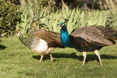 Peacock Male Bird Courting His Peahen Female Mate Wild Animals — Stock Photo
