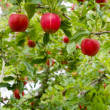 Vertical Composition Red Apples Growing Eastern Washington Fruit — Foto Stock