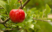Horizontal Composition Red Apples Growing Eastern Washington Fruit Apple Orchard — Stock Photo