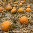Farm Scene Halloween Vegetable Growing Autumn Pumpkins Harvest Ready October — Zdjęcie stockowe