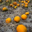 Farm Scene Halloween Vegetable Growing Autumn Pumpkins Harvest Ready October — Stock Photo
