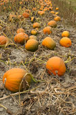 Farm Scene Halloween Vegetable Growing Autumn Pumpkins Harvest Ready October — Foto Stock