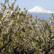 Mount Hood stands in the distance over Fruit Orchard — Foto de Stock