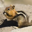 Wild Animal Chipmunk Stands Eating Filling up For Winter Hibernation — Stock Photo