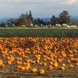 Panoramic Scene Farm Field Pumpkin Patch Vegetables Ripe Harvest — Stock Photo