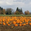 Stock Photo: Panoramic Scene Farm Field Pumpkin Patch Vegetables Ripe Harvest