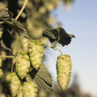 Hops Plants Buds Growing in Farmer's Field Oregon Agriculture — Stock Photo