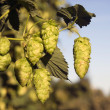Hops Plants Buds Growing in Farmer's Field Oregon Agriculture — Stock Photo #33670401