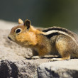 Wild Animal Chipmunk Stands Eating Filling Up For Winter Hibernation — Stock Photo #33674133