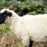 Sheep Ranch Livestock Farm Animal Grazing Domestic Mammal — Stock Photo #33732997