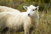 Sheep Ranch Livestock Farm Animal Grazing Domestic Mammal — Foto Stock
