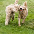 Happy Golden Retreiver Dog with Poodle Playing Fetch Dogs Pets — Zdjęcie stockowe