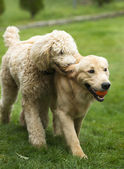 Happy Golden Retreiver Dog with Poodle Playing Fetch Dogs Pets — Stock Photo