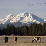 Постер, плакат: Wild Geese Fly Migrate Mountain Winter Cascade Range Oregon Ranch