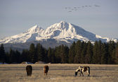 Wild Geese Fly Migrate Mountain Winter Cascade Range Oregon Ranch — Zdjęcie stockowe